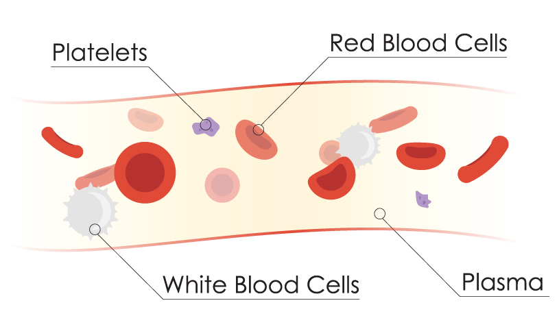 diagram of vein and blood components